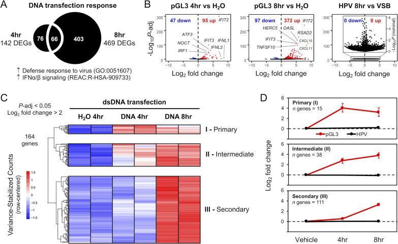 HPV16 virion infection does not activate cellular responses to dsDNA. RNA-seq was used to transcriptionally profile cellular responses to pGL3 DNA introduced via liposome transfection or HPV virion infection. (A) Relative to H 2 O mock-transfection, there were 142 significantly ( P -adj