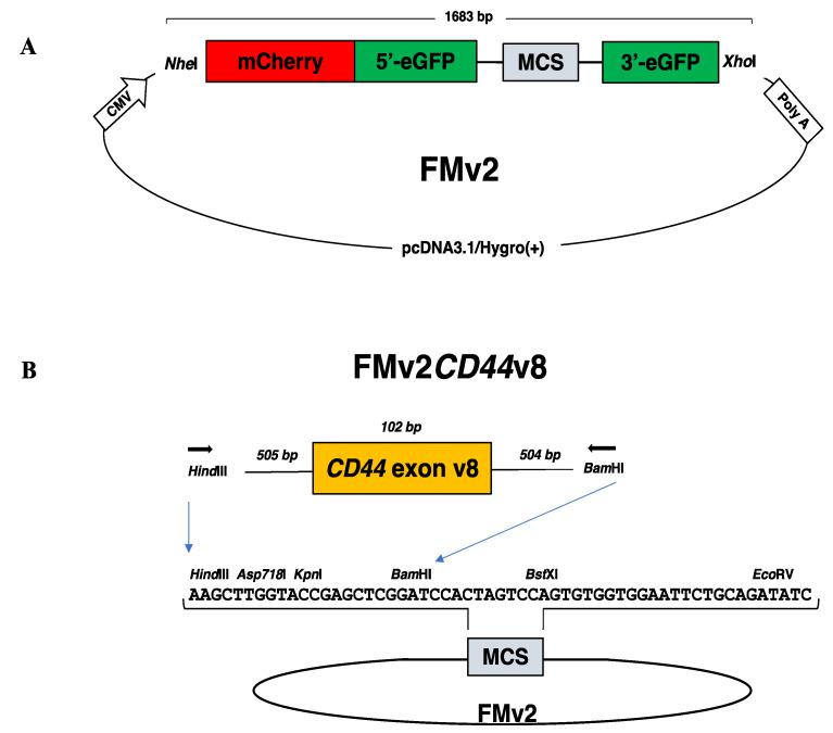 Dual fluorescence-based splicing reporter minigenes. ( A ) The structure of a ready-made dual fluorescence-based splicing reporter minigene is schematically described. An expression vector pcDNA3.1/Hygro(+) encoding the CMV promoter (CMV) and the polyadenylation signal of bovine growth hormone gene (poly A) was inserted with the synthesized 1683 bp long fragment with the use of Nhe I and Xho I restriction enzymes. The synthesized DNA comprised of sequences of the Nhe I restriction enzyme recognition site, mCherry, the 5′ region of eGFP (5′-eGFP), the 5′-end of DMD intron 18, the multicloning site (MCS), the 3′-end of DMD intron 19, the 3′ region of eGFP (3′-eGFP), and the Xho I restriction enzyme recognition site. The MCS sequence is immediately flanked upstream and downstream by the first part of DMD intron18 and the last part of DMD intron19, respectively. The original construct named as FM was modified to create FMv2 by replacing 15 nucleotides. ( B ) The ready-made minigene (FMv2) was modified to produce FMv2 CD44 v8 as follows. PCR amplified genomic region of exon v8 of the CD44 gene was inserted into the MCS of FMv2 using Hind III and BamH I restriction enzymes. The sequence of the MCS is described in the middle together with restriction enzyme recognition sites. Exon v8 of the CD44 gene (102 bp) and its flanking introns (505 and 504 bps, respectively) were amplified using primers (horizontal arrowhead) with Hind III and BamH I sequences added at the 5′end.