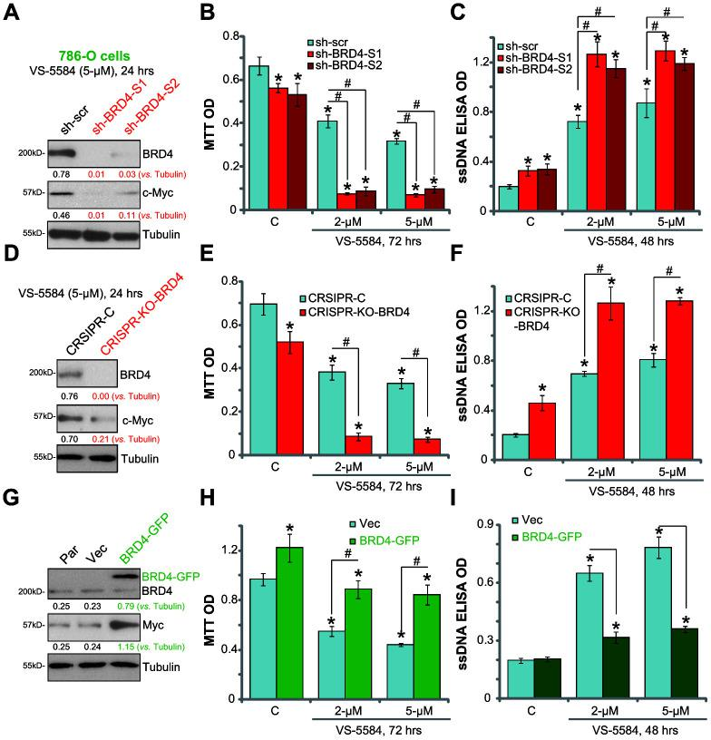 """BRD4 is the primary resistance factor of VS-5584 in RCC 786-O cells. In VS-5584-treated stable 786-O cells with BRD4 shRNA (""""sh-BRD4-S1/S2"""", A – C ), CRISPR-Cas9-BRD4-KO plasmid ( D – F ) or BRD4-expression vector (""""BRD4-GFP"""", G – I ), BRD4, c-Myc and tubulin expression was shown ( A , D , G ). Cell survival and apoptosis were tested by MTT (after 72 h, B , E , H ) and ssDNA ELISA (after 48 h, C , F , I ), respectively. The listed proteins were quantified ( A , D , G ). Data were presented as mean ± standard deviation (SD, n=5). *p"""