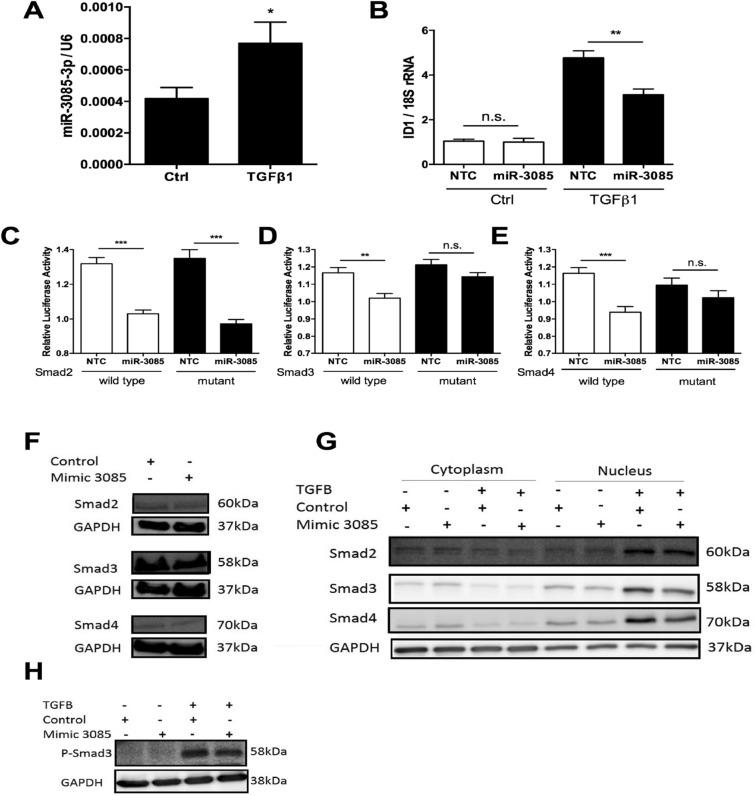 TGFβ induces miR-3085-3p which represses Smad signaling. Primary human articular chondrocytes were cultured in micromass culture for 48 h. ( A ) cells were then treated with TGFβ1 (4 ng/ml), or control for 24 h; miR-3085-3p was measured by qRT-PCR. ( B ) Primary human articular chondrocytes were grown in monolayer culture and transiently transfected with miR-3085-3p or a non-targeting control (NTC) for 24 h prior to stimulation with TGFβ1 (4 ng/ml), or control for 6 h; ID1 was measured by qRT-PCR. ( C – E ) SW1353 cells were transiently transfected with the ( C ) Smad2, ( D ) Smad3, ( E ) Smad4. 3′UTR subcloned into the pmirGLO vector (wild-type) or a construct with miR-3085-3p seed sites mutated (mutant) with miR-3085-3p mimic or non-targeting control (NTC) for 24 h. Firefly luciferase relative light units were normalised to Renilla relative light units to give overall relative light units. Mean + /− SEM, n = 3; Student's t-test; * p