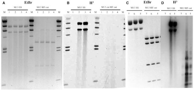 MTase activity requires single strands. Panels ( A ) and ( C ): M13 substrates stained with ethidium bromide. Panels ( B ) and ( D ): fluorograms of modification reactions using [H 3 ]SAM. M13 SS: virion DNA substrate. M13 RF cut: DS replication intermediate RFI was digested following the labelling reaction for visual simplification; NdeI (Panels A and B) or NdeI+BamHI (Panels C and D). The substrates were treated with MTase proteins obtained with PURExpress in vitro transcription-translation (Panels A and B) or were partially-purified (Ni-NTA purification) proteins synthesized in vivo (Panels C and D). Lanes 1) empty pSAPv6 vector, 2) M.BceJIII WT (pAF9), 3) M.EcoGIX WT (pAF10) and 4) M.EcoGIX APPA variant (pAF11). H 3 radiolabeled markers (M) are HindIII digested lambda DNA modified at A by M.EcoGII.
