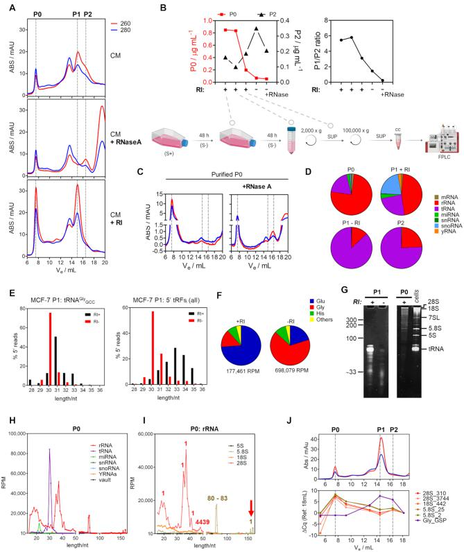 RNase inhibition stabilizes full-length extracellular rRNAs and tRNAs. ( A ) Size exclusion chromatography (SEC) of 100 000 × g supernatants of MCF-7 cell-conditioned medium (CM) following addition of RNase A (middle) or Ribonuclease Inhibitor (RI, bottom). Red, Blue: absorbance at 260 and 280 nm, respectively. ( B ) The earlier RI was added to the CCM during sample preparation, the higher the P0/P2 (left) and P1/P2 (right) ratios. S+, S–: serum-containing and serum-free media, respectively. SUP: supernatant. ( C ) The P0 peak was purified after SEC and treated with RNase A, which partially reconstituted the P2 peak. ( D ) Pie charts showing relative representations of different RNA biotypes in RI-SEC-seq datasets. ( E ) Size distribution of reads mapping to the 5' half of glycine tRNA (left) or to all tRNAs (right) in the P1 peak from MCF-7 cells either with (black) or without (red) addition of RI. ( F ) Relative representation of reads mapping to different tRNA isoacceptors in the P1 peak of cells treated (top) or not (bottom) with RI. ( G ) Analysis of the P1 peak either with (+) or without (−) RI treatment (left gel) or the P0 peak (right gel) in a denaturing polyacrylamide gel. ( H ) Size distribution of small RNA sequencing reads mapping to different ncRNAs (see legend) in the P0 peak of MCF-7 cells. RPM: reads per million mapped reads. ( I ) As in (H) but showing only the reads aligning to rRNAs. Numbers indicate starting position of most reads. ( J ) Amplification of different rRNA regions by random-primed RT-qPCR in fractions collected after SEC. Gly_GSP: amplification of glycine 5' halves using a gene-specific primer during RT. Numbers after underscores represent the 5' position of the expected amplicon.