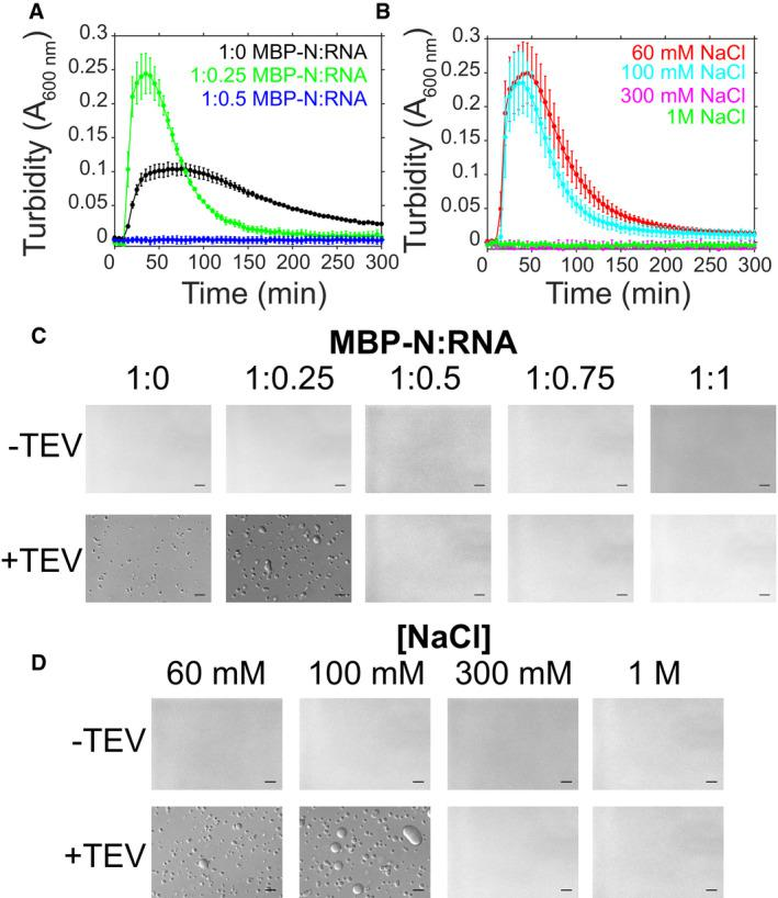 SARS‐CoV‐2 N LLPS is modulated by salt and RNA Phase separation over time as monitored by turbidity of 50 μM MBP‐N in 50 mM Tris pH 7.4 after addition of TEV protease (A) with varying torula yeast RNA (at 100 mM NaCl) or (B) varying NaCl concentrations (at constant RNA concentration). Error bars represent standard deviation of three replicates. DIC micrographs of 50 μM MBP‐N in 50 mM Tris pH 7.4 (C) with varying torula yeast RNA concentrations (at 100 mM sodium chloride) and (D) varying sodium chloride concentrations (at constant RNA concentration), with or without TEV protease (to cleave MBP from N). Scale bars represent 50 μm.
