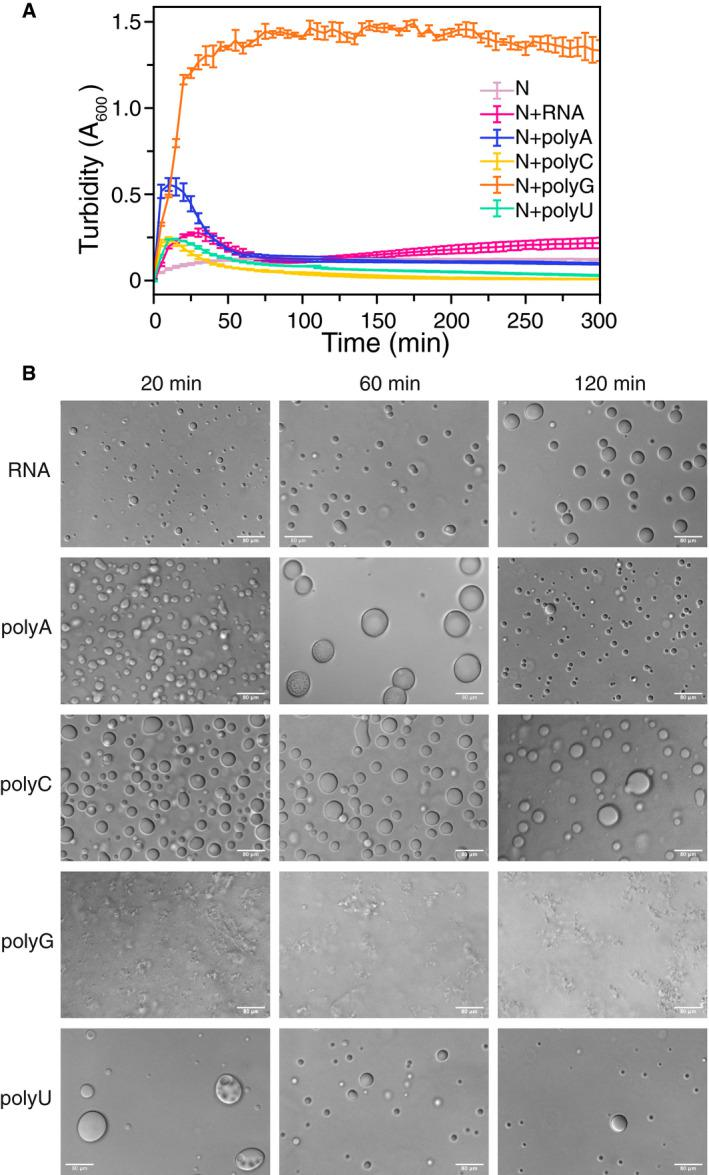 SARS‐CoV‐2 N phase separation enhanced by non‐specific RNA binding Turbidity of N is increased in the presence of torula yeast RNA and homopolymeric RNAs. Error bars represent standard deviation of three replicates. DIC micrographs of MBP‐N in the presence of TEV (to cleave MBP from N to initiate LLPS) with indicated RNA. After cleavage of MBP, N phase separates. Apparent polyG RNA induces aggregation of MBP‐N. Sample conditions: 50 µM MBP‐N, 0.5 mg/ml RNA/polyX, 70 mM NaCl, 25˚C, 50 mM Tris pH 7.4. Scale bar represents 80 µm.
