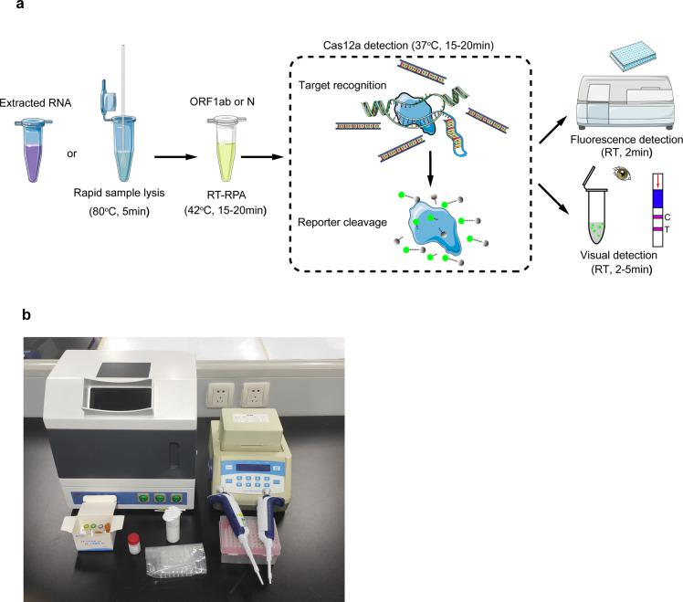 Workflow of Cas12a-based detection for SARS-CoV-2. Extracted RNA or lysed samples can be used as an input for RPA-Cas12a-based detection. ( a ) The results can be achieved within 50 minutes using a fluorescent reader or with visual detection methods. ( b ) The minimum equipment needed to run the assay following RNA extraction or rapid sample lysis includes UV light imagers, heat blocks (42°C and 37°C), pipettes and tips, Eppendorf tubes, reagents, and lateral flow strips. Cas, CRISPR associated proteins; RPA, recombinase polymerase amplification; RT, room temperature; SARS-CoV-2, Severe Acute Respiratory Syndrome Coronavirus 2; UV, ultraviolet.
