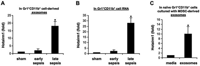 Hotairm1 expression is increased in late sepsis MDSCs. Gr1 + CD11b + cells were isolated from the bone marrow of sham and septic mice by positive selection using anti-Gr1 antibody and magnetic beads. (A) The cells were cultured for 24 hr in serum-free media. Exosomes were purified from the culture supernatants, and exosomal RNA was extracted with exoRNeasy Starter kit. Levels of Hotairm1 were determined by RT-qPCR using RT lncRNAqPCR Assay Primers (Qiagen). Values were normalized to 18S RNA. (B) Total RNA was isolated from Gr1 + CD11b + cells using TRIzol reagent, and levels of Hotaim1 were determined as in A. Values were normalized to GAPDH RNA. (C) Gr1 + CD11b + cells isolated from naïve mice were cultured for 24 hr without or with exosomes (50 μg/well), purified from late sepsis MDSC culture. The cells were harvested, total RNA was extracted and levels of Hotairm1 were determined as in B. PCR was performed in duplicate. Data are presented relative to sham or media control (1-fold). Data in A and B are expressed as means ± SD of 6-9 mice/group from three experiments. Data in C are expressed as means ± SD of 7 cultures from two experiments. * p