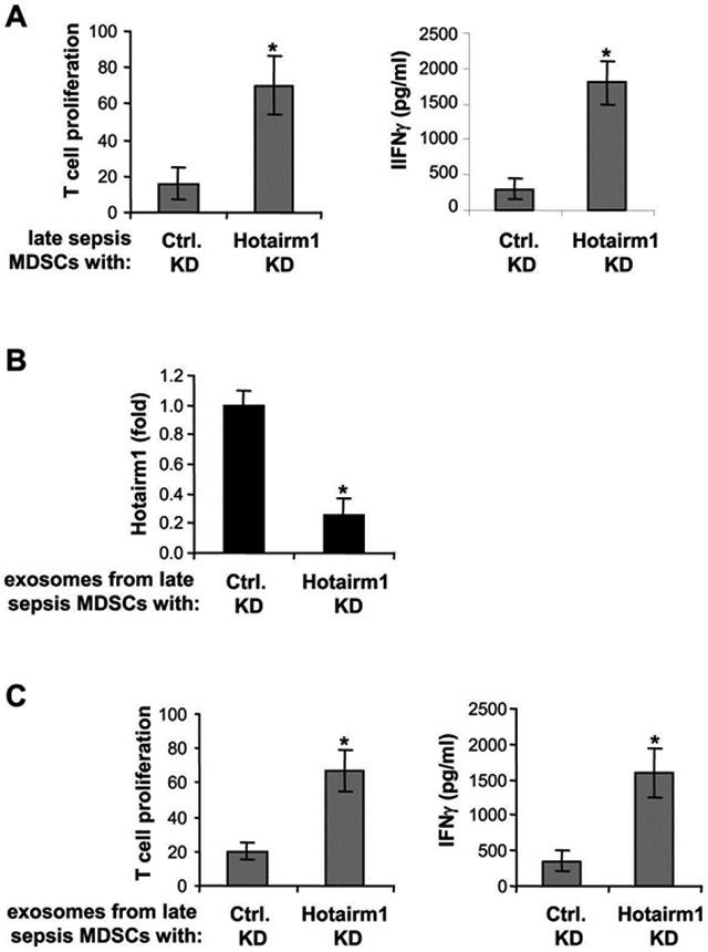 Knockdown of Hotairm1 in late sepsis MDSCs attenuates their immunosuppressive functions. Gr1 + CD11b + cells were isolated from the bone marrow of late septic mice by positive selection using anti-Gr1 antibody and magnetic beads. The cells were transfected with Hotairm1-specific or scramble siRNAs for 36 hr. (A) Effects of MDSCs on T cell proliferation and activation. CD4 + T cells were isolated from splenocytes of naive mice with anti-CD4 antibody and labeled with the fluorescent dye CFSE. The late sepsis Gr1 + CD11b + cells with Hotairm1 knockdown were then co-cultured (1:1 ratio). T cells were stimulated with anti-CD3 plus anti-CD28 antibodies (1 μg/ml each). After 3 days, the cells were harvested, and T cell proliferation and IFNϒ production were determined as in Figure 2 . (B and C) Effect of exosomes lacking Hotairm1 on T cells. Late sepsis Gr1 + CD11b + cells with Hotairm1 knockdown were cultured for 24 hr in serum-free media. Culture supernatants were harvested, and exosomes were purified using exoEasy Maxi kit. (B) Levels of Hotairm1 in exosomal RNA was determined by RT-qPCR. Values were normalized to 18S RNA. (C) Spleen CD4 + T cells were labeled and cultured with naive Gr1 + CD11b + cells (as described in Figure 2 ) in the presence of Hotairm1-lacking exosomes. T cell proliferation and IFNϒ production were measured as in A. Data are expressed as means ± SD of 5-6 mice/group from three experiments. * p