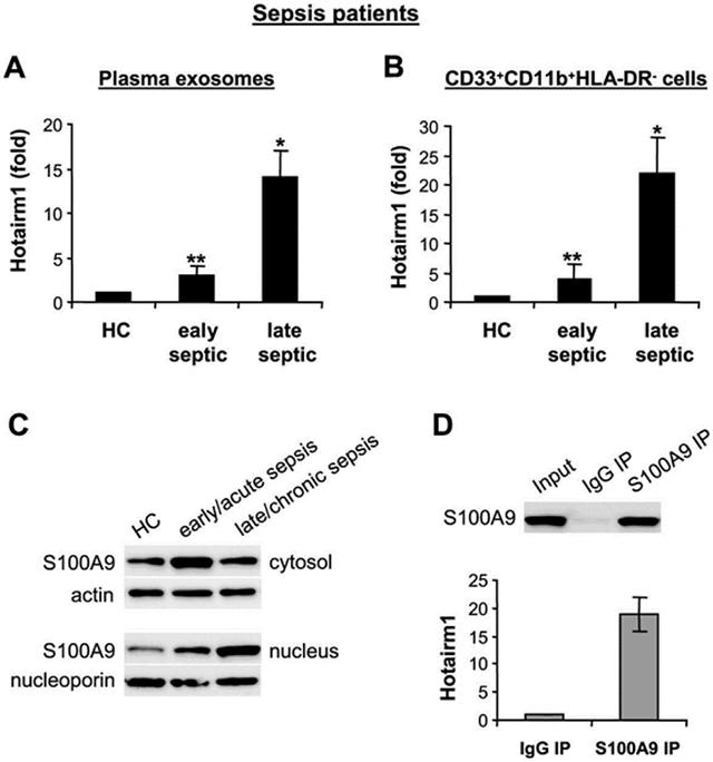 High levels of Hotairm1 in plasma exosomes and MDSCs from late septic patients. (A) Exosomes were purified from plasma and RNA was extracted using exoRNeasy Starter kit. (B) Peripheral blood CD33 + CD11b+HLA-DR − cells were isolated by magnetic cell separation. PBMCs were first purified and depleted of the HLA-DR + cells. The HLA-DR − cell population was then subjected to positive selection with biotin-coupled anti-CD33 antibody, followed by anti-CD11b antibody. Total RNA was extracted using TRIzol reagent. Levels of Hotairm1 were determined by RT-qPCR as in Figure 3 . Values in A were normalized to 18S RNA, and values in B were normalized to GAPDH RNA. Data are expressed as means ± SD of 7-9 subjects/group and are presented relative to HC (1-fold), * p