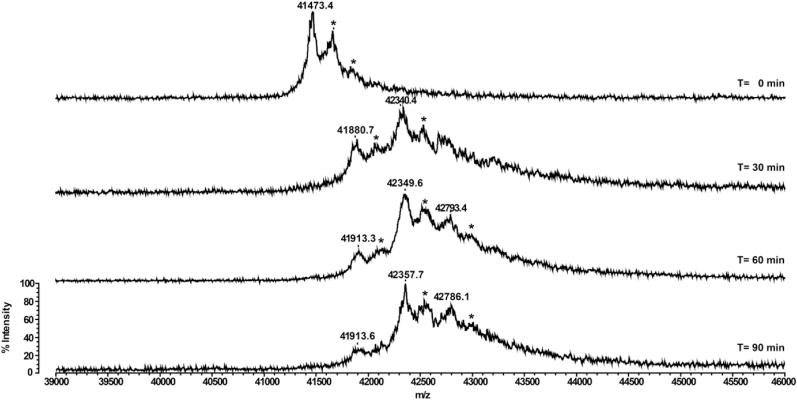 Time-dependent mass spectrometry analyses of CrGSNOR1 treated with Biotin-maleimide . Recombinant CrGSNOR1 was incubated in the presence of 1 mM Biotin-maleimide. At indicated time points, protein samples were withdrawn and analyzed by <t>MALDI-TOF</t> MS to assess the number of alkylated cysteines. For each alkylated cysteine, the molecular mass of CrGSNOR1 is shifted by +451 Da compared to the native protein (41473.4 Da). Peaks highlighted by an asterisk correspond to the protein-matrix (sinapinic acid) adduct. The y-axis is equal for all mass spectra acquired at times 0, 30, 60, and 90 min, and only indicated in the bottom spectrum.