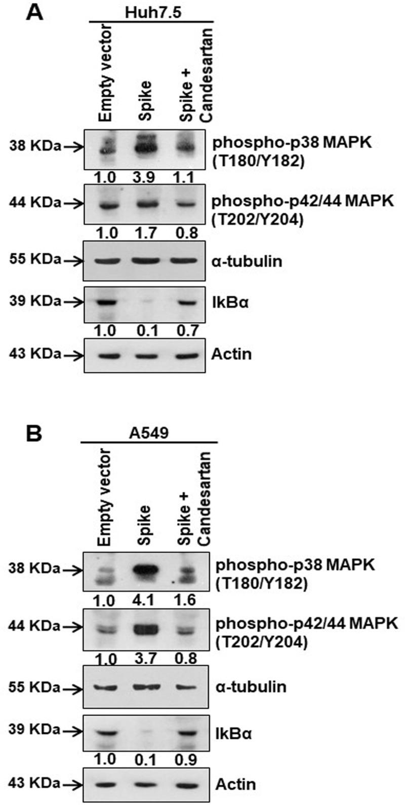Candesartan cilexetil as an AT1 receptor antagonist prevent MAPK activation. (A) Western blot analysis of phospho-p38 MAPK (Thr180/Tyr182) and phospho-p42/44 MAPK (Thr202/Tyr204) in Huh7.5 cell lysates prepared after 48 h of transfection of SARS-CoV-2 spike gene construct with or without Candesartan cilexetil treatment. Expression level of actin in each lane is shown as a total protein loading control for comparison. (B) Western blot analysis of phospho-p38 MAPK (Thr180/Tyr182) and phospho-p42/44 MAPK (Thr202/Tyr204) in A549 cell lysates prepared after 48 h of transfection of SARS-CoV-2 spike gene construct with or without Candesartan cilexetil treatment. Expression level of actin or tubulin in each lane from the same gel is shown as a total protein load for comparison.