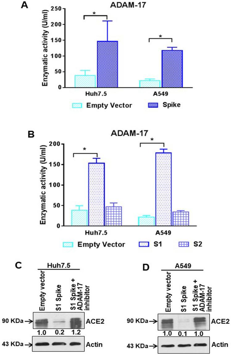 SARS-CoV-2 spike protein regulates ADAM-17 activity. (A) ADAM-17 enzymatic activity was measured from crude extracts of Huh7.5 and A549 cells after transfection of SARS-CoV-2 spike gene constructs. (B) ADAM-17 enzymatic activity was measured from crude extracts of Huh7.5 and A549 cells after transfection of SARS-CoV-2 spike S1 or S2 gene construct or empty vector. The results are presented as mean ± standard deviation. '*' represent statistical significance ( p