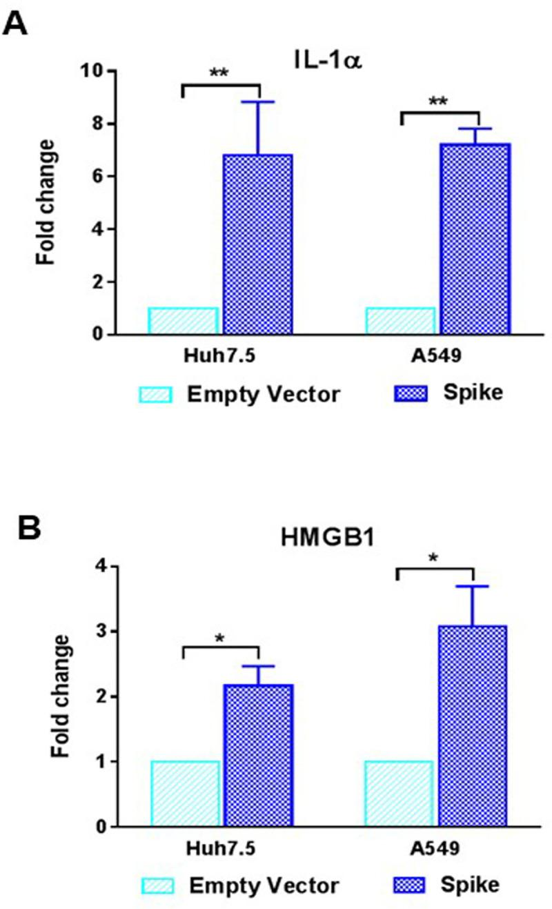 SARS-CoV-2 spike protein induces alarmin secretion from epithelial cells. (A, B) The extra-cellular level of IL-1α and HMGB1 were measured by ELISA from culture supernatant of Huh7.5 and A549 cells after transfection of SARS-CoV-2 spike gene construct or empty vector as a control for comparison. The results are presented as mean ± standard deviation. '*' ( p