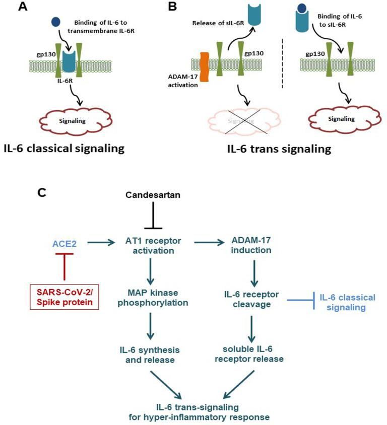 (A, B) Overview of IL-6 mediated classical and trans-signaling mechanisms. (C) Schematic presentation of molecular changes occurring upon SARS-CoV-2 infection or spike protein expression in epithelial cells.