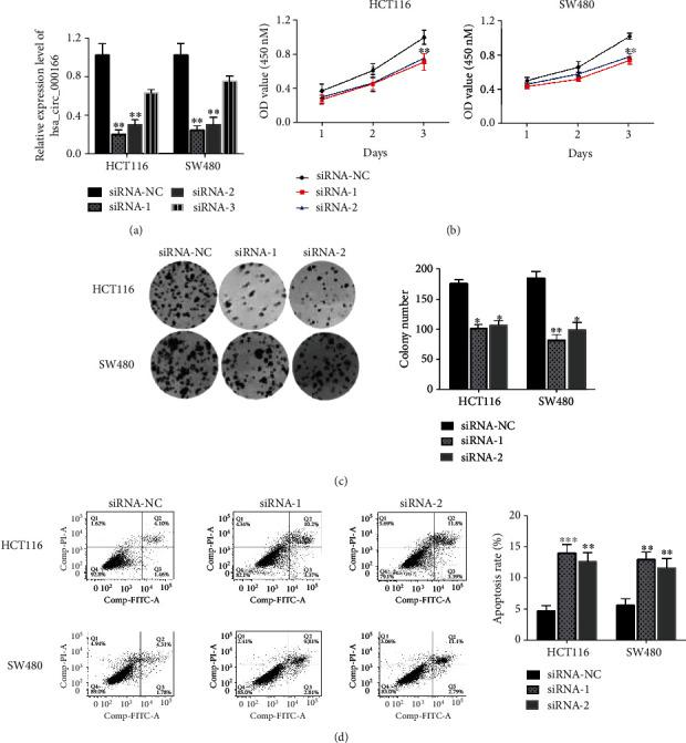 Decreased hsa_circRNA_000166 expression affected cell growth and apoptosis in CRC cells. (a) The transcriptional level of hsa_circRNA_000166 was measured by qRT-PCR in both HCT116 and SW480 cells after transfection with siRNAs. (b) Cell proliferation assay showed that decreased hsa_circRNA_000166 expression limited the growth of HCT116 and SW480 cells after siRNA-1 or siRNA-2 transfection compared with the controls. (c) Clone formation assay demonstrated that the number of colonies was significantly decreased after siRNA-1 or siRNA-2 transfection compared with the controls in HCT116 and SW480 cells. (d) Flow cytometric analysis displayed that the number of apoptotic cells was noticeably increased in siRNA-1- or siRNA-2-transfected groups compared with the controls. The Student t -test was used for statistics.