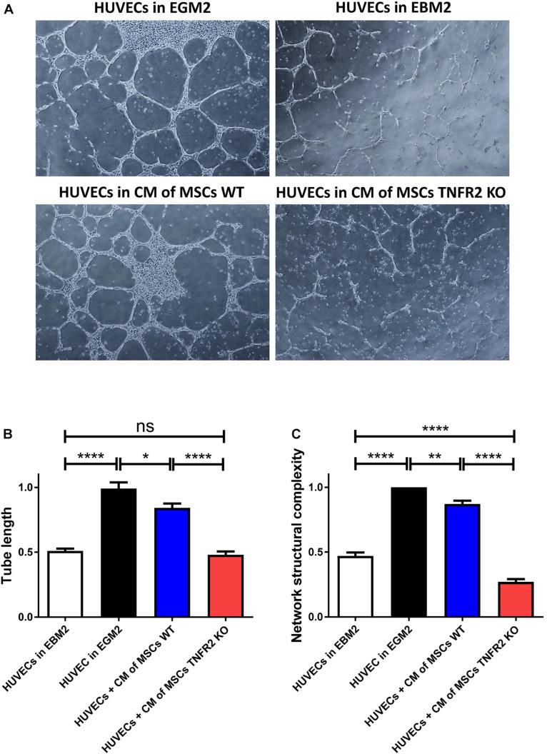 Expression of TNFR2 is crucial for mesenchymal stem cells (MSCs) to support endothelial cell (EC) angiogenic function. To evaluate the impact of MSCs on human umbilical vein endothelial cell (HUVEC) angiogenic capacity, wild-type (WT) or TNFR2 knockout (KO)-MSCs (P2 and P3) were cultured in complete Dulbecco's modified Eagle's medium (DMEM) medium. After 2 days, CM were taken, filtered, and added to HUVECs on Matrigel. HUVECs cultured in EBM2 basal medium were used as negative control, and HUVECs cultured in EGM2 complete medium were used as positive control. (A) Pictures were taken every 2 h, using objectives 4× and 10× of the inverted microscope in phase-contrast mode. Images were further analyzed to evaluate (B) the tube length and (C) the network structural complexity. Results are collected from three independent experiments ( n = 10). CM, conditioned media.