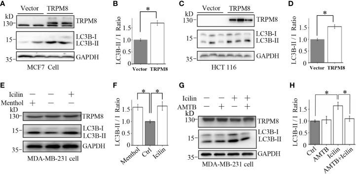 Upregulation of autophagy by TRPM8 in various cancer cell lines. (A, B) The construct for TRPM8 expression was transiently transfected into MCF7 for 48 h; the cells were used for WB analysis using indicated antibodies to detect autophagy-associated proteins (N = 3). (C, D) Similar WB analysis of lysates of HCT116 cells transfected with TRPM8 (N = 3). (E–H) WB analysis of lysates of MDA-MB-231 cells treated with 10 μM menthol, 2 μM icilin, 0.5 μM AMTB, or combined treatments for 48 h (N = 3). N represents the number of replicate experiments. *P