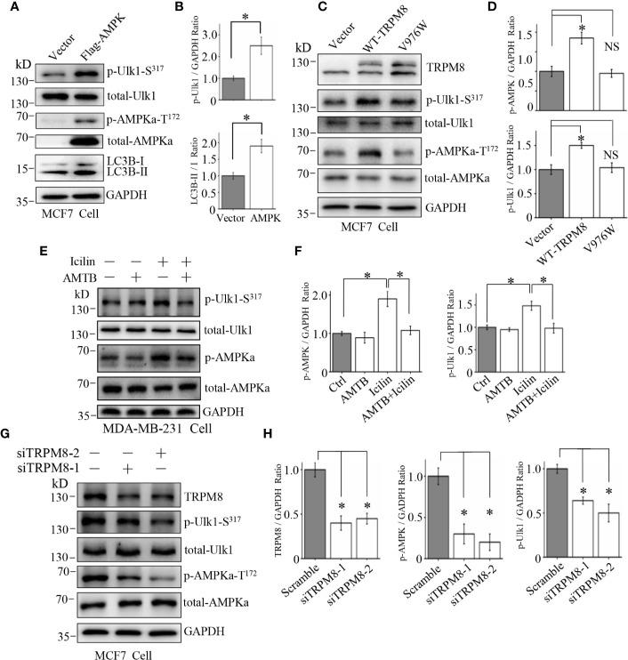 Involvement of the AMPK-ULK1-LC3 signaling cascade in TRPM8-stimulated autophagy. (A, B) The construct for Flag-AMPK expression was transiently transfected into MCF7 cells. After 48 h of transfection, the AMPK-ULK1-LC3 signaling cascade-related proteins were detected by WB (N = 3). (C, D) MCF7 cells were transiently transfected with wild type TRPM8, mutant V976W, or control vector. After 48 h of transfection, protein lysates were used for WB analysis (N = 3). (E, F) MDA-MB-231 cells treated with 2 μM icilin, 0.5 μM AMTB, or their combination for 48 h were extracted for WB analysis (N = 3). (G, H) MCF7 cells were transfected with siRNA against human TRPM8; siRNA against TRPM8 (siTRPM8-1 and siTRPM8-2) successfully knocked down TRPM8 expression compared with that in the control scramble siRNA samples according to WB analysis using an anti-TRPM8 antibody. The AMPK-ULK1-LC3 signaling cascade-related proteins detected by WB analysis using the indicated antibodies (N = 3). N represents the number of replicate experiments. *P
