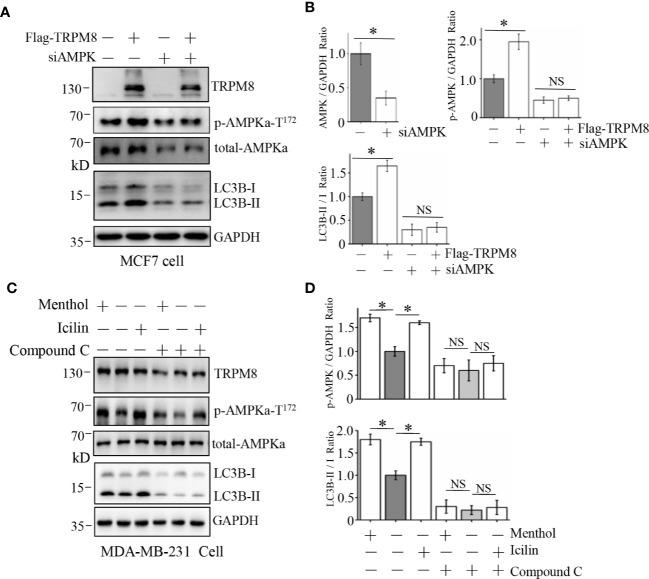 Influence of AMPK impairment on the stimulatory effect of TRPM8 on autophagy. (A, B) MCF7 cells were transiently transfected with siRNA against human AMPK and a Flag-TRPM8 construct. After 48 h of transfection, protein lysates were extracted for WB analysis to determine the effect of TRPM8 overexpression on basal autophagy in the presence of AMPK knockdown (N = 3). (C, D) WB analysis of cell lysates of MDA-MB-231 cells treatment with 2 μM icilin, 10 μM menthol, or a combination of 10 M compound C for 48 h (N = 3). N represents the number of replicate experiments. *P