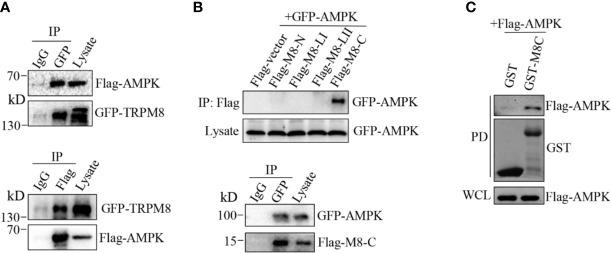 AMPK interacts with TRPM8. (A, B) Co-IP analysis. (A) Constructs for GFP-TRPM8 and Flag-AMPK expression were transiently transfected into MCF7 cells. After 48 h of transfection, protein lysates were immunoprecipitated with an anti-GFP antibody and assayed by immunoblot with an anti-Flag antibody (lower panel). Reciprocal Co-IP with an anti-Flag antibody used for immunoprecipitation and anti-GFP used for WB analysis (upper panel) (N = 3). (B) The construct for GFP-AMPK expression was cotransfected with M8-N, M8-LI, M8-LII, or M8-C into MCF7 cells. Protein lysates were immunoprecipitated with an anti-Flag antibody and assayed by immunoblot with an anti-GFP antibody (upper). The constructs for GFP-AMPK and Flag-M8-C expression were cotransfected into MCF7 cells. Protein lysates were immunoprecipitated with an anti-GFP antibody and assayed by immunoblot with an anti-Flag antibody (upper) (N = 3). (C) GST pull-down analysis. Protein lysates of MCF7 cells transiently expressing Flag-AMPK were incubated with purified cytoplasmic C-terminus of TRPM8 GST fusion protein (GST-M8C). GST-M8C, but not control GST, successfully pulled down Flag-AMPK. PD: pull-down. The lysate was used as a positive control (N = 3). N represents the number of replicate experiments. PD, pull down; WCL, whole cell lysates.