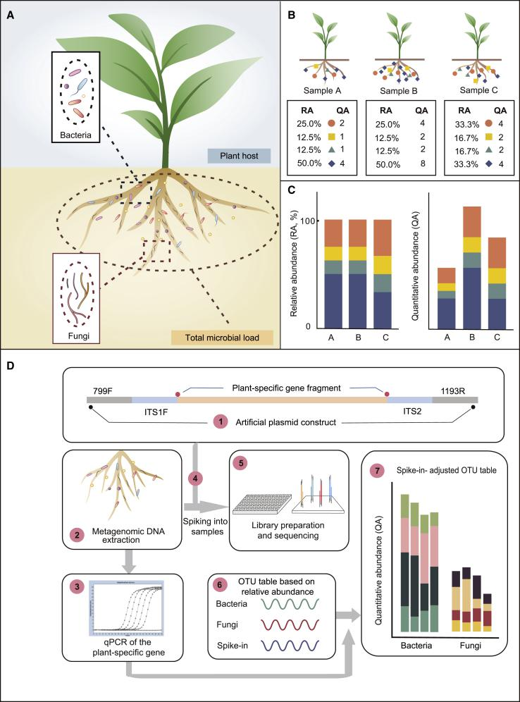 Advantages and Experimental Procedure for Quantitative Abundance Profiling of the Microbiome in Plant Roots. (A) The major limitation of the current root microbiome profiling technique based on relative abundance is the lack of a method for quantitatively assessing the microbial load per unit amount of plant root tissue. (B) Three simulated root microbiomes associated with the same amounts of root tissue (upper panel) and the corresponding microbial profiling based on relative or quantitative abundance (lower panel). RA, relative abundance; QA, quantitative abundance, representing the copy-number ratio of microbial marker genes relative to plant genome. (C) Bar plots showing a comparison of relative (left panel) versus quantitative (right panel) microbial profiling of simulated root microbiome samples in (B) . (D) Schematic diagram showing the workflow of HA-QAP. (1) The artificial plasmid is designed and constructed as a spike-in control, containing conserved 16S rRNA, ITS primer regions (799F/1193R and ITS1F/ITS2), and a plant-specific gene sequence (the RID1 gene in this study). (2) <t>DNA</t> is extracted from the root microbiome, including plants and microbes. (3) A selected plant marker gene found in the total DNA is quantified by qPCR; this value is used to calibrate microbial relative abundance to quantitative abundance in step (7). (4) The predefined amount of spike-in plasmid is added to the DNA of root microbiome samples based on experience. (5 and 6) <t>PCR</t> amplicon libraries (bacteria and fungi, respectively) are prepared, sequenced (5), and analyzed (6). (7) The bacterial and fungal reads are calibrated based on the read counts of the spike-in and the amount of the plant marker gene quantified by qPCR in step (3) to determine the quantitative abundance relative to the host plant tissue.