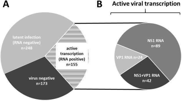 ( A ) B19V genome detection and detection of viral transcription activity in EMBs of patients with unexplained heart failure (N = 576). ( B ) The group composition of EMBs with detectable active viral transcription (VP1/2-RNA-, NS1-RNA and VP1/2 and NS1-RNA positive samples) was shown in detail. Numbers represent the amount of EMBs.
