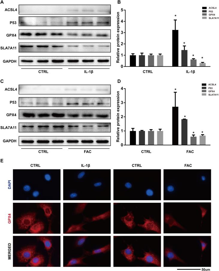 Both IL-1β and FAC induced ferroptosis related protein expression changes in chondrocytes (A) The protein expression level of ACSL4, GPX4, P53, and SLC7A11, when treated with IL-1β, were detected by western blot (B) Band density ratios of ACSL4, GPX4, P53, and SLC7A11 to GAPDH in the western blots were quantified by densitometry (C) The protein expression level of ACSL4, GPX4, P53, and SLC7A11 when treated with FAC were detected by western blot (D) Band density ratios of ACSL4, GPX4, P53 and SLC7A11 to GAPDH in the western blots were quantified by densitometry (E) Total GPX4 protein level were evaluated by immunofluorescence staining in chondrocytes treated with IL-1β or FAC. ∗P 