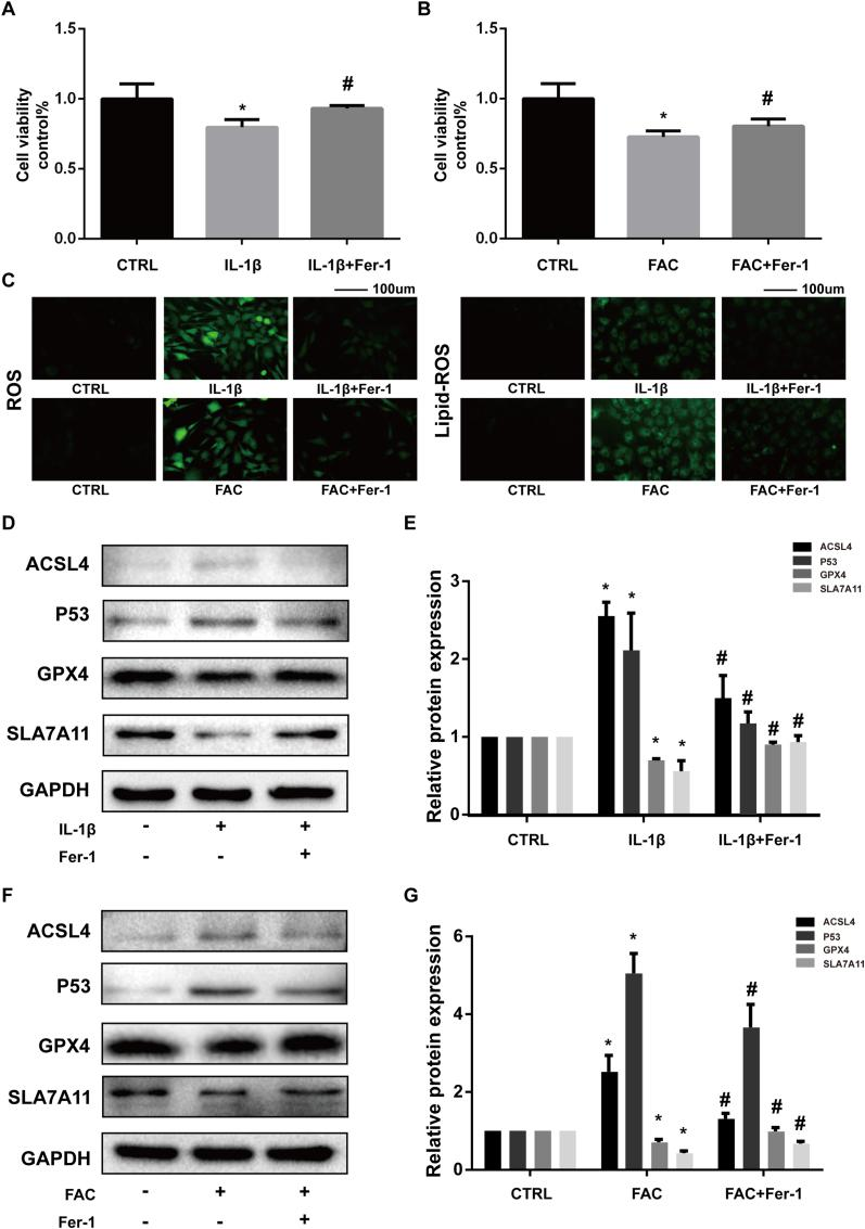 Ferrostatin-1 attenuated the cytotoxicity, ROS and lipid-ROS accumulation and ferroptosis related protein expression changes induced by IL-1β and FAC (A–B) Cell viability determined by CCK-8 assay (C) Intracellular ROS and lipid-ROS level detected by DCFH-DA and C11 BODIPY fluorescent probe (D) The protein expression level of ACSL4, GPX4, P53, and SLC7A11 when treated by IL-1β with 1 μM ferrostain-1 or equal volume of DMSO were detected by western blot (E) Band density ratios of ACSL4, GPX4, P53 and SLC7A11 to GAPDH in the western blots were quantified by densitometry (F) The protein expression level of ACSL4, GPX4, P53 and SLC7A11 when treated by FAC with 1 μM ferrostain-1 or equal volume of DMSO were detected by western blot (G) Band density ratios of ACSL4, GPX4, P53 and SLC7A11 to GAPDH in the western blots were quantified by densitometry. ∗P 