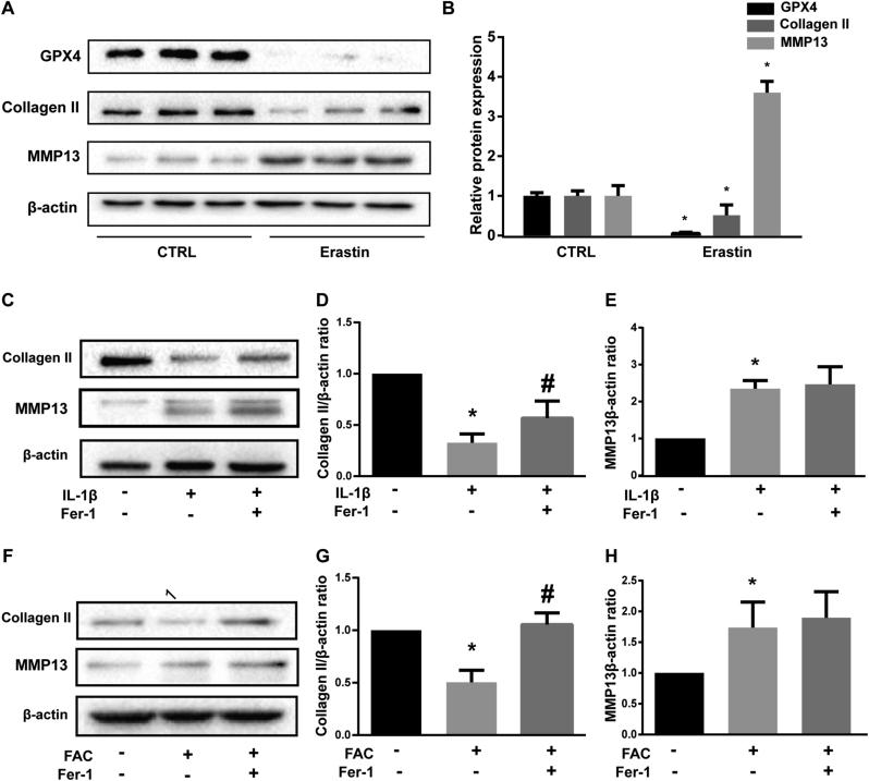Erastin promoted matrix metalloproteinase 13 (MMP13) expression while inhibited Type II collagen (collagen II) expression in chondrocytes (A) The protein expression level of <t>GPX4,</t> collagen II and MMP13 when treated with erastin were detected by western blot (B) The band density ratio of GPX4, collagen II and MMP13 to β-actin in the western blots were quantified by densitometry (C) The protein expression level of collagen II and MMP13 when treated by IL-1β with 1 μM ferrostain-1 or equal volume of DMSO were detected by western blot (D-E) The band density ratio of collagen II and MMP13 to β-actin in the western blots were quantified by densitometry (F) The protein expression level of collagen II and MMP13 when treated by FAC with 1 μM ferrostain-1 or equal volume of DMSO were detected by western blot (G-H) The band density ratio of collagen II and MMP13 to β-actin in the western blots were quantified by densitometry.∗P