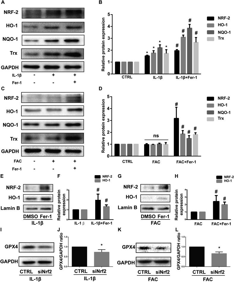Nrf2 antioxidant system and ferroptosis are mutually regulated under inflammation and iron overload condition (A) The protein expression level of Nrf2, HO-1, NQO-1 and Trx when treated by IL-1β with 1 μM ferrostain-1 or equal volume of DMSO were detected by western blot (B) The band density ratio of Nrf2, HO-1, NQO-1 and Trx to GAPDH in the western blots were quantified by densitometry (C) The protein expression level of Nrf2, HO-1, NQO-1 and Trx when treated by FAC with 1 μM ferrostain-1 or equal volume of DMSO were detected by western blot (D) The band density ratio of Nrf2, HO-1, NQO-1 and Trx to GAPDH in the western blots were quantified by densitometry. (E) The nuclear protein level of Nrf2 and HO-1 when treated by IL-1β with 1 μM ferrostain-1 or equal volume of DMSO were detected by western blot (F) The band density ratio of Nrf2 and HO-1 to Lamin B were quantified by densitometry. (G) The nuclear protein level of Nrf2 and HO-1 when treated by FAC with 1 μM ferrostain-1 or equal volume of DMSO were detected by western blot (H) The band density ratio of Nrf2 and HO-1 to Lamin B were quantified by densitometry. (I) The protein level of GPX4 when treated by IL-1β with si-Nrf2 or negative control were detected by western blot (J) The band density ratio of GPX4 to GAPDH were quantified by densitometry. (K) The protein level of GPX4 when treated by IL-1β with si-Nrf2 or negative control were detected by western blot (L) The band density ratio of GPX4 to GAPDH were quantified by densitometry.∗P