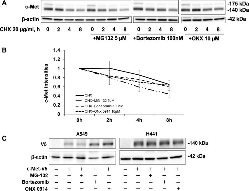 Effect of proteasome inhibitors on CHX-mediated c-Met degradation. (A) H441 cells were treated with 20 μg/ml of CHX with or without MG132 (5 μM), bortezomib (100 nM), or ONX 0914 (10 μM). Cells were harvested at each time point over 0–8 h for immune blotting. Data represent one of three independent experiments with similar results. (B) Quantitative analysis of the immunoblots shown in (A) using ImageJ software. The results are shown as mean ± SD of three independent experiments. (C) A549 and H441 cells were transfected with c-Met-V5 plasmids for 1 day, and then were treated with proteasome inhibitors for an additional 48 h. H441 cells were treated with MG-132 (5 μM), bortezomib (100 nM), and ONX 0914 (10 μM). A549 cells were treated with MG-132 (20 μM), bortezomib (100 nM), and ONX 0914 (10 μM). Cell lysates were analyzed by immunoblotting with antibodies against c-Met and β-actin. Cell lysates were analyzed by immunoblotting with antibodies against V5 and β-actin.