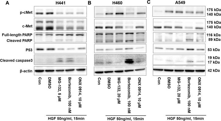 Proteasome inhibitors increase PARP and caspase 3 cleavage and change p53 expression. (A) H441 cells were treated with MG-132 (5 μM), bortezomib (100 nM), and ONX 0914 (10 μM), respectively, for 48 h, then were challenged with HGF (50 ng/ml) for 15 min. Cell lysates were analyzed by immunoblotting with antibodies against c-Met, p-c-Met, PARP, p53, cleaved caspase 3, and β-actin. (B) H460 cells were treated with MG-132 (20 μM), bortezomib (100 nM), and ONX 0914 (10 μM), respectively, for 48 h, then were challenged with HGF (50 ng/ml) for 15 min. Cell lysates were analyzed by immunoblotting with antibodies against c-Met, p-c-Met, PARP, p53, cleaved caspase 3, and β-actin. (C) A549 cells were treated with MG-132 (20 μM), bortezomib (100 nM), and ONX 0914 (10 μM), respectively, for 48 h, then were challenged with HGF (50 ng/ml) for 15 min. Cell lysates were analyzed by immunoblotting with antibodies against c-Met, p-c-Met, PARP, p53, cleaved caspase 3, and β-actin. Shown are representative blots from three independent experiments.