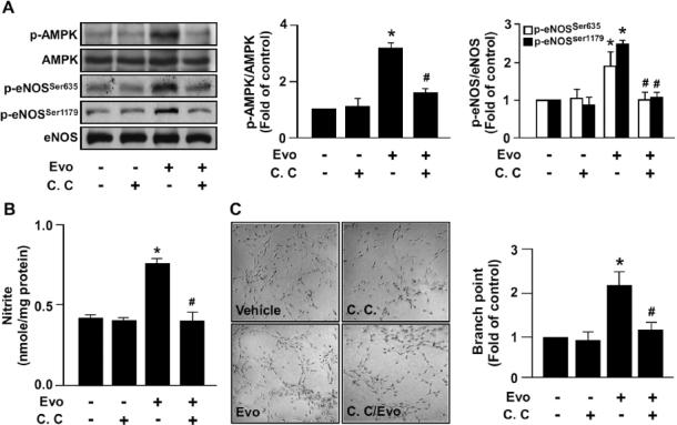 AMPK mediates evodiamine-induced eNOS phosphorylation, NO production and tube formation in ECs. (A) BAECs were pretreated or without 10 µmol/L compound C (C.C) for 1 h, then incubated with evodiamine (1 µmol/L) for 15 min. Cellular lysates were immunoblotted with phosphorylated AMPK at Thr172, AMPK, phosphorylated eNOS at Ser635 and Ser1179, and eNOS. (B) BAECs were pretreated or without compound C (10µmol/L) for 1 h, then incubated with evodiamine (1µmol/L) for 24 h. The level of nitrite in cultured medium was analyzed by Griess assay. (C) BAECs were cultured in precoated matrigel in the presence of the indicated treatments for 24 h. Tube formation was photographed, and bar graphs indicate the number of branch points in 5 randomly selected microscopy views. Data are mean ± SD from five independent experiments. * P