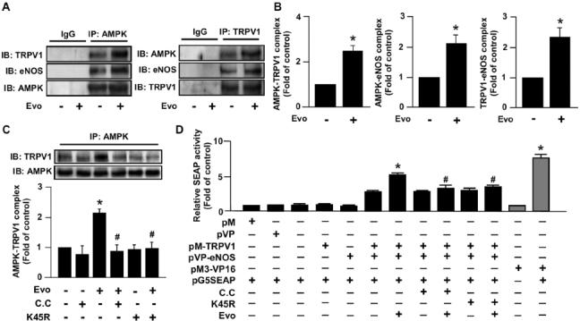 AMPK is involved in the formation of TRPV1 and eNOS by TRPV1 ligand in ECs. (A, B) BAECs were treated with evodiamine (1 µmol/L) for 15 min. (C) BAECs were pretreated with compound C (10 µmol/L) for 1 h or transfected with dnAMPK mutant (K45R) for 24 h, then incubated with 1 µmol/L evodiamine for 15 min. Cell lysates were immunoprecipitated (IP) with anti-IgG, anti-AMPK or anti-TRPV1 antibodies, and precipitates were probed for TRPV1, eNOS and AMPK as indicated by immunoblotting (IB). (D) BAECs were co-transfected with pM, pVP pM-TRPV1, pVP-eNOS, pM3-VP16, pG5SEAP (secreted human alkaline phosphatase) or K45R for 48 h. Transfected cells were pretreated with or without compound C (10 µmol/L) for 1 h, then treated with or without evodiamine (1 [mol/L) for an additional 24 h. The pM3-VP16/pG5SEAP-transfected group was a positive control. The SEAP activity in culture media was determined by GreatEscAPe SEAP chemiluminescence detection kits. Data are mean ± SD from five independent experiments. *P