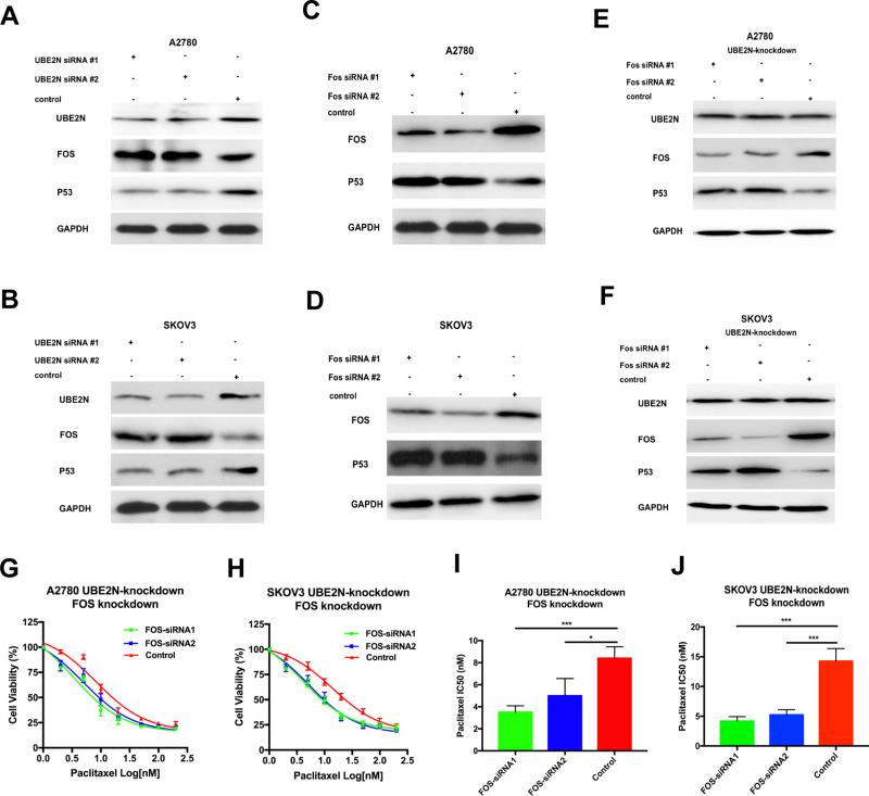 Fos regulated paclitaxel sensitivity in vitro and participated in UBE2N regulation of the paclitaxel sensitivity via P53. ( A and B ) Western blotting of UBE2N, Fos and P53 in A2780 and SKOV3 cells with UBE2N-knockdown. ( C and D ) Western blotting of Fos, P53 in A2780 and SKOV3 cells with Fos-knockdown. ( E and F ) Western blotting of Fos, P53 in A2780 and SKOV3 cells with Fos-knockdown, which were transfected in advance with UBE2N-specific shRNA and selected with G418 (400 μg/mL) for 14 days, and treated with paclitaxel at the indicated concentrations. ( G and H ) Cell viability assays in A2780 and SKOV3 cells with Fos-knockdown, which were transfected in advance with UBE2N-specific shRNA and selected with G418 (400 μg/mL) for 14 days, and treated with paclitaxel at the indicated concentrations. ( I and J ) IC50 of paclitaxel in A2780 and SKOV3 cells with Fos-knockdown, which were transfected in advance with UBE2N-specific shRNA and selected with G418 (400 μg/mL) for 14 days. Results are shown as means±SEM for at least 3 separate experiments. The level of significance is indicated by * P