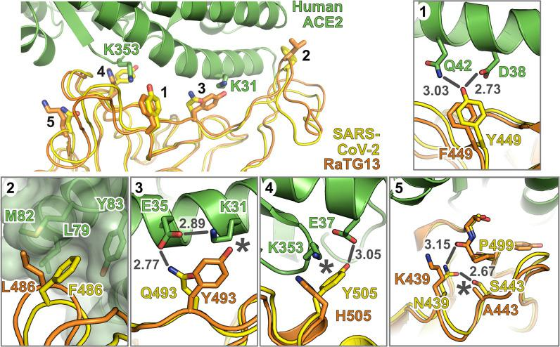 """Amino acid variation in SARS-CoV-2 and RaTG13 RBD impacts human ACE2 receptor utilisation. Structure of RaTG13 RBD (orange) [ 12 ] superposed onto the structure of human ACE2 (green) in complex with the SARS-CoV-2 RBD (yellow) [ 10 ]. Selected RBD residues that promote association with ACE2 are highlighted, as are the ACE2 """"hotspot"""" residues K31 and K353 [ 13 ]. Insets 1 to 5 show molecular interactions discussed in the main text. Bonds that may be disrupted are shown as grey lines, with bond distances in grey text, and hydrophobic interactions that may be disrupted or potential steric clashes are marked with asterisks. ACE2, angiotensin-converting enzyme 2; RBD, receptor binding domain; SARS-CoV-2, SARS Coronavirus 2."""