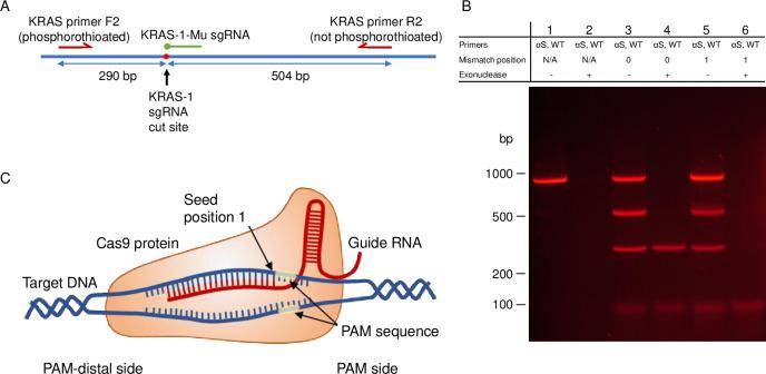 Gel electrophoresis results of mutation specific enrichment by TRACE on a phosphorothioated PCR product around the KRAS G12 locus. (A) Diagram of the PCR product designed around the KRAS G12 locus. (B) Results of TRACE performed on the 794 bp PCR product around KRAS G12 with the forward primer phosphorothioated. PCR product produced from normal human genomic DNA. Lanes 1 and 2 show controls without Cas9/sgRNA treatment without and with exonuclease treatment. Lanes 3 and 4 show results of Cas9/sgRNA treated reactions with an sgRNA that is a perfect match to the normal variant PCR product without and with exonuclease treatment. Lanes 5 and 6 show results of Cas9/sgRNA treated reactions with an sgRNA that matches the KRAS G12D mutation, producing a mismatch in the first position prior to the PAM site without and with exonuclease treatment. (C) Diagram of the Cas9/sgRNA complex.