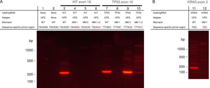 Gel electrophoresis showing single base discretion using cTRACE. (A) Demonstration of cTRACE on targets within KIT exon 18 and TP53 exon 10 in normal human genomic DNA. Lanes 1 and 2 show controls without Cas9/sgRNA treatment with and without adapter, respectively, and amplified with KIT exon 18 chimeric primers. Lanes 3 and 7 show the results of cTRACE amplification with two perfectly matched primers for the two targets. Lanes 4 and 8 show the results of cTRACE amplification with one perfectly matched primer and one primer with a single mismatch at the 3'-end. Lanes 5 and 9 show the results of cTRACE amplification with one perfectly matched primer and one primer with a single mismatch in the second base from the 3'-end. Lanes 6 and 10 show the results of cTRACE amplification with one perfectly matched primer and one primer with two mismatches in the first and second position from the 3'-end. (B) Demonstration of cTRACE on KRAS exon 2 in normal human genomic DNA. Lane 1 shows enrichment found with a perfect matched primer and Lane 2 shows enrichment found with a single mismatch on the 3'-end of the primer that matches the KRAS G12D mutation.