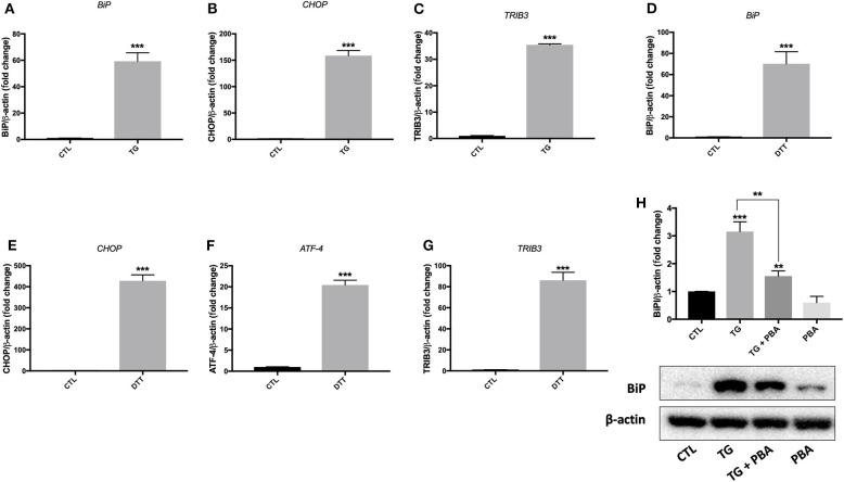 ER stress was activated by TG and DTT in HUVECs. Relative mRNA expression by qPCR of ER stress markers: BiP (A) , CHOP (B) , and TRIB3 (C) in HUVECs treated with <t>thapsigargin</t> (TG; 300 nM, 24 h) and BiP (D) , CHOP (E) , ATF-4 (F) and TRIB3 (G) in HUVECs treated with Dithiothreitol (DTT; 2M, 24 h) normalized against housekeeping gene β -actin ( n = 3–4). (H) , Western blot of protein expression of BiP in HUVECs treated with thapsigargin (TG; 300 nM, 24 h) in the presence or absence of PBA (10 mM). Bars represent pooled densitometry data normalized to total amount of β-actin loading control expressed as fold change compared to control (CTL) ( n = 4 per group). Data are presented as mean ± SEM. Data were analyzed by one-way ANOVA followed with Tukey's multiple comparison test. ** P