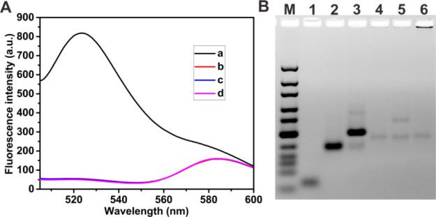 (A) Fluorescence emission spectra of the miRNA analysis under different conditions. (a) Padlock probe + T4 RNA ligase 2 + miR-21 (500 pM) + phi29 DNA polymerase + dNTPs + TaqMan probe + Endo IV, (b) control with no miR-21, (c) control with no padlock probe, and (d) control with no Endo IV. (B) Gel electrophoresis image for RCA products. Lane M: DNA marker (10–300 bp); Lane 1: 2 μM miR-21; Lane 2: 1 μM padlock probe; Lane 3: 1 μM padlock probe + 1 μM miR-21 + 2 U T4 RNA ligase 2; Lane 4: 100 nM padlock probe + 2 U T4 RNA ligase 2 + 10 U phi29 DNA polymerase + 0.5 mM dNTPs. Lane 5: 100 nM padlock probe + 10 nM miR-21 + 10 U phi29 DNA polymerase + 0.5 mM dNTPs; Lane 6: 100 nM padlock probe + 10 nM miR-21 + 2 U T4 RNA ligase 2 + 10 U phi29 DNA polymerase + 0.5 mM dNTPs.
