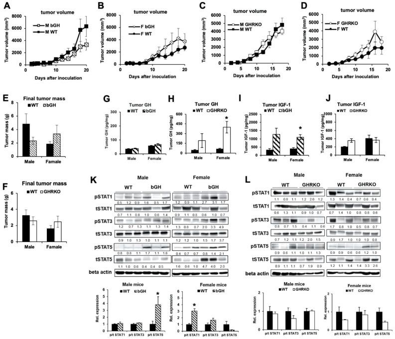 Subcutaneous B16-F10 mouse melanoma growth in bGH and GHRKO syngeneic mice. ( A ) Subcutaneous B16-F10 tumor growth in male bGH (n = 5) vs. WT mice (n = 6). ( B ) Subcutaneous B16-F10 tumor growth in female bGH (n = 7) and WT mice (n = 6). ( C ) Subcutaneous B16-F10 tumor growth in male GHRKO (n = 6) vs. WT (n = 8) mice. ( D ) Subcutaneous B16-F10 tumor growth in female GHRKO (n = 4) and WT mice (n = 5). Tumor sizes were analyzed by repeated measures (SPSS). ( E ) Weight of subcutaneous B16-F10 tumors from bGH vs. WT mice at dissection. ( F ) Weight of subcutaneous B16-F10 tumors from GHRKO vs. WT mice at dissection. ( G ) GH levels were measured in protein lysates isolated from tumors of bGH and WT mice using ELISA and normalized to total protein concentrations (n = 4). ( H ) Similar GH measurements were performed in protein lysates isolated from tumors of GHRKO and WT mice (males n = 3, females n = 4). ( I ) IGF-1 levels were measured in protein lysates isolated from tumors of bGH and WT mice using ELISA and normalized to total protein concentrations (n = 4). ( J ) Similar IGF-1 measurements were performed in protein lysates isolated from tumors of GHRKO and WT mice (males n = 3, females n = 4). ( K ) Representative images of western blot analysis of phosphorylation (p) and total (t) levels of STAT1, STAT3 and STAT5 in protein lysates isolated from tumors of bGH and WT mice. Densitometry analysis was performed and normalized against β-Actin. The relative expression levels (fold change relative to WT) are labeled under each band. The ratio of phosphorylated vs. total protein levels in tumors from bGH and WT mice are presented in bar graphs (n = 4). ( L ) Representative images of western blot analysis of phosphorylation and total levels of STAT1, STAT3, and STAT5 in protein lysates isolated from tumors of GHRKO and WT mice. (males n = 3, females n = 4). Data are presented as mean ± standard errors (*, p