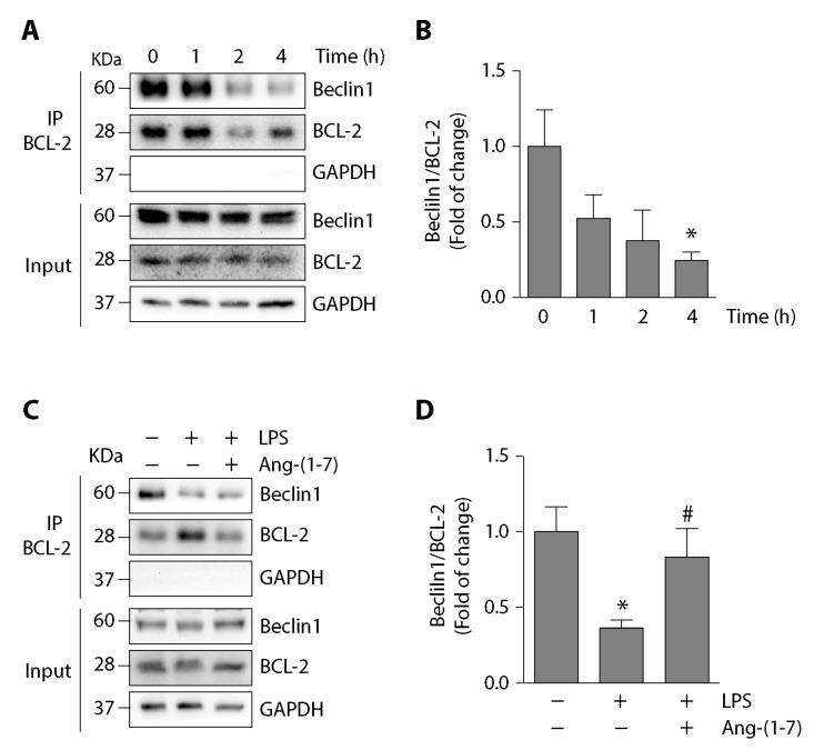 Ang-(1-7) prevented the LPS-induced disassembly of Beclin1/BCL-2 complex C2C12 cells. ( A ) C2C12 cells were incubated with LPS (500 ng/mL) at different times from 0 to 4 h. The interaction between Beclin1 and BCL-2 was analyzed using immunoprecipitation with anti-BCL-2. From the eluate, the Beclin1 and BCL-2 protein levels were detected by Western blot. The protein levels of GAPDH are shown as loading control. Molecular weights are shown in kDa. ( B ) Quantification of three independent experiments represented in (A). The Beclin1/BCL-2 ratio from the eluate was normalized to GAPDH and expressed as the mean ± S.E. (fold of change relative to time 0. *, p