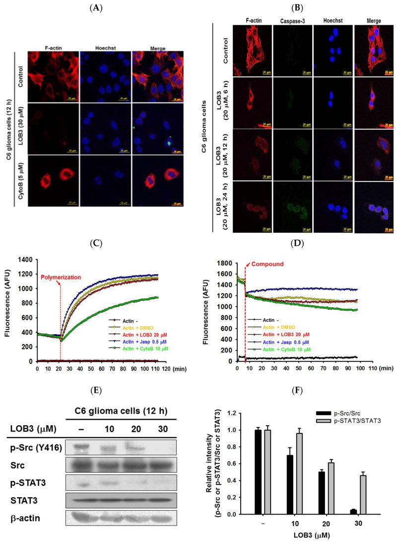 Inhibitory effect of LOB3 on actin polymerization by targeting Src and STAT3 in C6 cells. ( A ) Actin filaments (F-actin) and the nuclei of C6 cells treated with either LOB3 (30 μM) or CytoB (5 μM) for 12 h were stained with phalloidin and Hoechst 33342, respectively, and visualized under a confocal microscope. ( B ) Actin filaments (F-actin), caspase-3, and the nuclei of C6 cells treated with LOB3 (20 μM) for the indicated time were stained with phalloidin, caspase-3 antibody, and Hoechst 33342, respectively, and visualized under a confocal microscope. ( C ) Actin monomers were incubated with the indicated compounds for the indicated time, and actin polymerization was analyzed by an in vitro actin polymerization assay. ( D ) Actin filaments were incubated with the indicated compounds for the indicated time, and actin depolymerization was analyzed by an in vitro actin de-polymerization assay. ( E ) C6 cells were treated with the indicated doses of LOB3 for 12 h, and the protein levels of the phosphor and total forms of Src and STAT3 were determined by Western blot analysis. Results ( A – D ) are representative of three independent experiments. Statistical significance was analyzed by the Mann-Whitney U test. Data of band intensity ( F ) were measured and quantified using ImageJ. *  p