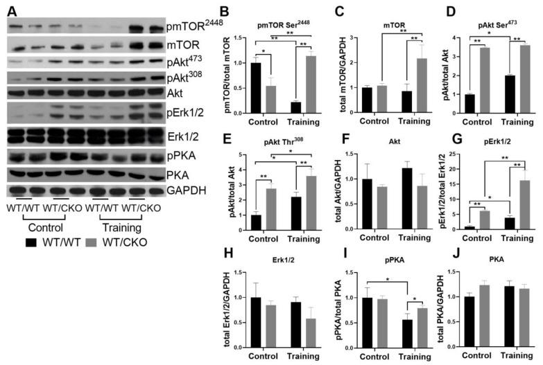 Heterozygous knockout of β-catenin affects hypertrophic signaling in the heart. ( A ) Western blot of pmTOR 2448 , mTOR, pAkt at Thr 308 , pAkt at Ser 473 , Akt, pErk1/2, Erk1/2, phosphorylated PKA (pPKA) and protein kinase A (PKA) in LV lysates from WT/WT and WT/CKO mice in sedentary conditions (Control) and after the endurance training (Training). ( B ) Densitometry of pmTOR at Ser 2448 normalized to mTOR. ( C ) Densitometry of total mTOR normalized to GAPDH. ( D ) Densitometry of pAkt at Ser 473 normalized to Akt. ( E ) Densitometry of pAkt at Thr 308 normalized to Akt. ( F ) Densitometry of total Akt normalized to GAPDH. ( G ) Densitometry of pErk1/2 normalized to total Erk1/2. ( H ) Densitometry of total Erk1/2 normalized to GAPDH. ( I ) Densitometry of pPKA normalized to total PKA. ( J ) Densitometry of total PKA normalized to GAPDH. The data are expressed as the mean ± SD of arbitrary fold of change relative to control levels. n = 5/group. * p
