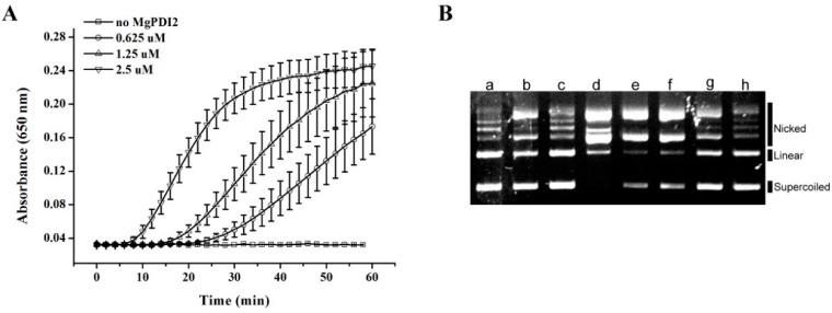 Biological activity of recombinant MgPDI2. ( A ) Dithiothreitol (DTT)-mediated insulin reduction by recombinant MgPDI2. ( B ) Potential of recombinant MgPDI2 to protect super-coiled <t>DNA</t> from cleavage in a mixed-function oxidase (MFO) system. Lanes: a, <t>pGEM-T</t> without any treatment; b, pGEM-T incubated with 1.65 mM DTT; c, pGEM-T incubated with 16.5 mM FeCl3; d, pGEM-T incubated with the MFO system; e–h, pGEM-T incubated with the MFO system and different concentrations (0.1, 1, 10, and 100 μg/mL, respectively) of purified MgPDI2. The nicked, linear, and super-coiled forms of pGEM-T are shown from the top to the bottom. Numerical values are reported in Table 1 .
