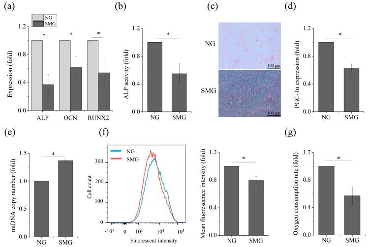 SMG inhibits osteogenesis and OXPHOS in MSCs after exposure to SMG. ( a ) Gene expression of ALP, OCN, RUNX2 after 72 h. ( b ) Relative ALP activity after 72 h. ( c ) Representative images of ALP staining after 7 day. ( d ) Gene expression of PGC-1α after 72 h. ( e ) Relative mtDNA copy number levels after 72 h. ( f ) Cells were stained with MitoTracker Green for mitochondrial mass and assessed by flow cytometry after 72 h. ( g ) Relative OCR levels after 72 h. For each group, the values are the mean ± SEM from three representative independent experiments. Control: NG control. * p