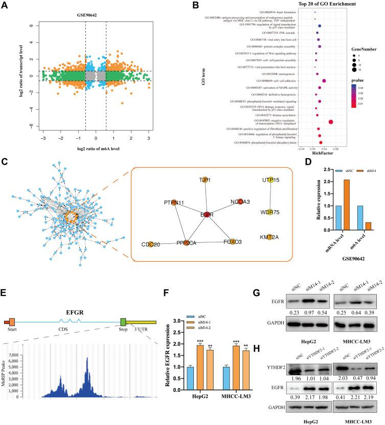 Identifying EGFR as the target of METTL14 in HCC. ( A ) Analysis of RNA-sequencing and m6A-sequencing data of METTL14 knockdown in HepG2 cells deposited in GSE90642. ( B ) KEGG analysis of the potential targets of METTL14 in HCC. ( C) PPI analysis and the top 10 hub genes of the potential targets of METTL14. ( D ) METTL14 knockdown resulted in downregulated m6A levels but upregulated mRNA levels of EGFR in GSE90642. ( E ) The m6A peak in EGFR mRNA. ( F and G ) qPCR and Western blot analysis showed that METTL14 knockdown increased EGFR expression. ( H ) Western blot analysis showed that YTHDF2 knockdown increased EGFR expression. **p