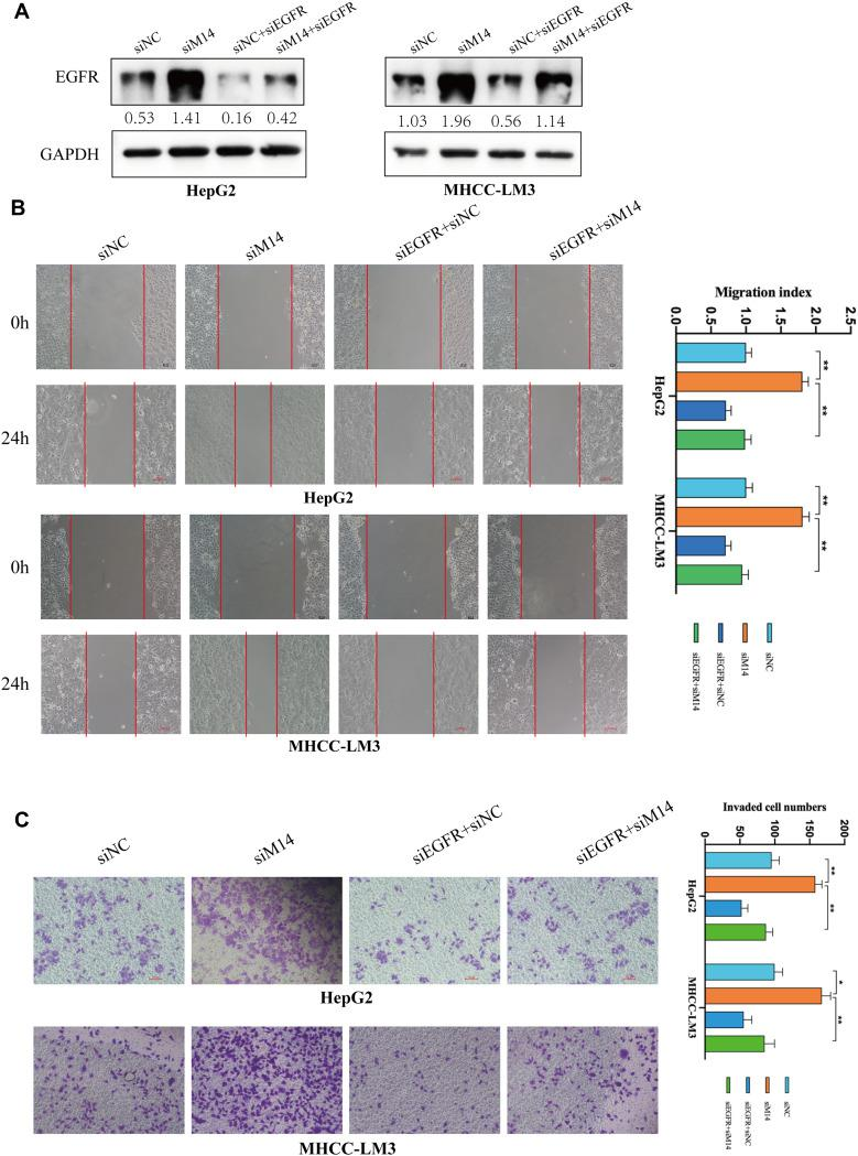 EGFR knockdown effectively reversed the effect of METTL14 downregulation on HCC cells. ( A ) The transfection efficiency was tested by Western blot. ( B ) The wound healing assays showed that METTL14 knockdown promoted cell migration, whereas EGFR downregulation reversed such effect. ( C ) The Transwell Matrigel invasion assays showed that the improved invasive ability resulted by METTL14 knockdown was re-established after inhibiting EGFR expression in HCC cells. *p