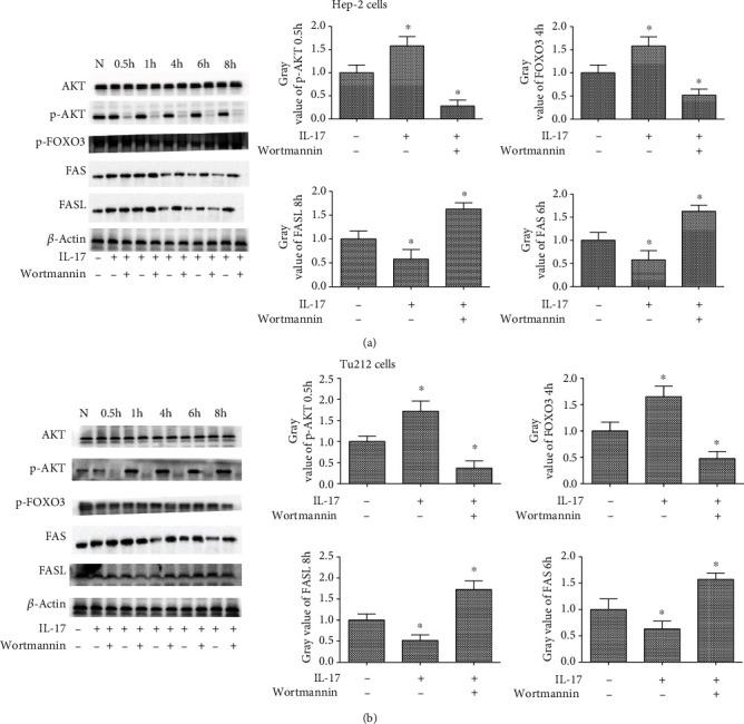 The 200-17-induced FAS and FASL phosphorylation was dependent on PI3K/AKT pathway activation in the LC cell lines. (a) AKT, phosphorylation of AKT, phosphorylated FOXO3, FAS, and FASL, as well as the gray intensity analysis in Hep-2 cells, stimulated with 200-17 for 0.5 h, 1 h, 4 h, 6 h, and 8 h, following pretreatment with wortmannin for 0.5 h. (b) AKT, phosphorylation of AKT, phosphorylated FOXO3, FAS, and FASL, as well as the gray intensity analysis in Tu212 cells, stimulated with 200-17 for 0.5 h, 1 h, 4 h, 6 h, and 8 h, following pretreatment with wortmannin for 0.5 h. n = 3 per group. One representative experiment of the three independent experiments is demonstrated. ∗ P