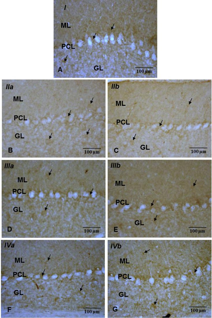 Immuno-histochemical localization of PSD95 (→) in ML, GCL areas intervening between PCs of cerebellar cortex from control (A) experimental (B, C, D, E, F, G) groups (40X). Note: Decrease in the cerebellar PSD95 immunoreactivity in B (IIa) C (IIb) as compared to group A (I), D (IIIa), E (IIIb), F (IVa) G (IVb).