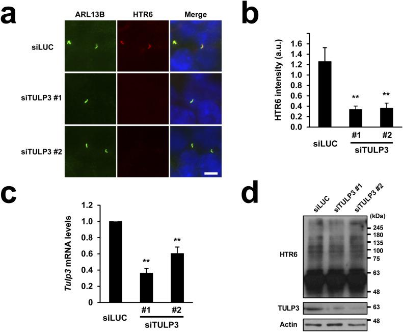 HTR6 ciliary targeting requires the ciliary trafficking adapter TULP3. (A) HTR6-IMCD3 cells were transiently transfected with siRNAs targeting mouse TULP3 (siTULP3 #1 or siTULP3 #2) or firefly luciferase (siLUC) as negative control, serum-starved to promote ciliogenesis and immunostained with anti-ARL13B (green) and anti-HTR6 (red) antibodies. DNA was stained with Hoechst (blue). Scale bar, 5 μm. (A, B) HTR6 ciliary intensity was quantified from (A). Data are mean ± SEM of n = 23,32,29 cells for siLUC, siTULP3 #1, and siTULP3 #2, respectively. (C) Mouse Tulp3 mRNA levels were analyzed by qRT-PCR and expressed relative to Gapdh mRNA. Data are mean ± SEM of n = 3 independent experiments. Significance in (B, C) is shown as P